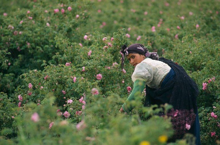 Moroccan women collecting rose