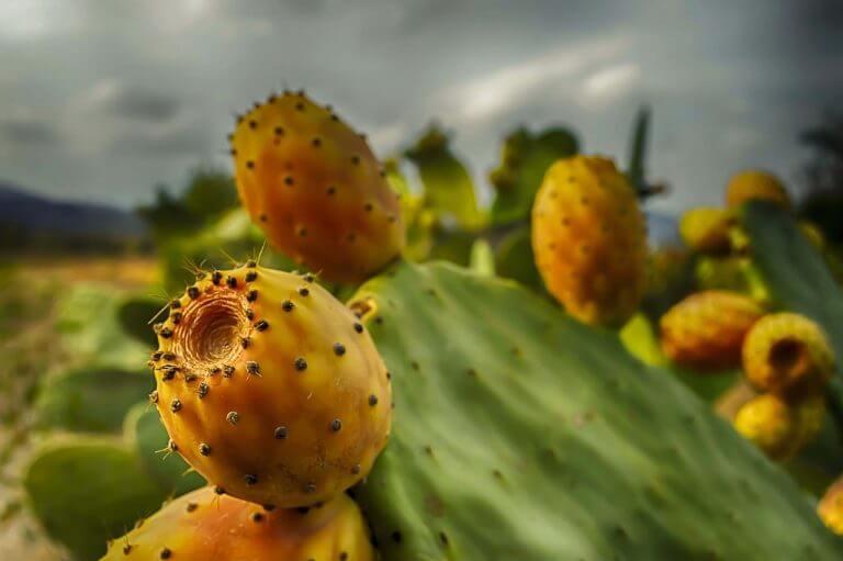 prickly pear Morocco visiter
